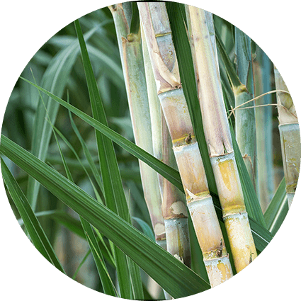 about-what-is-sugar-growing